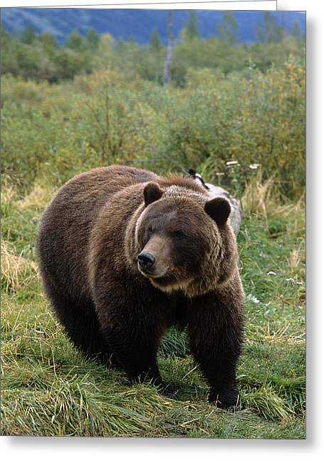 Captive Grizzly Bear At The Alaska Greeting Card by Doug Lindstrand