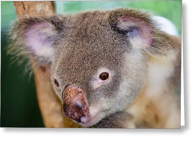 Captive Koala Bear Greeting Card by Ashley Cooper