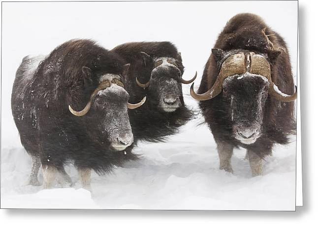 Snowstorm Greeting Cards - Captive Three Musk Ox Stand In Deep Greeting Card by Doug Lindstrand
