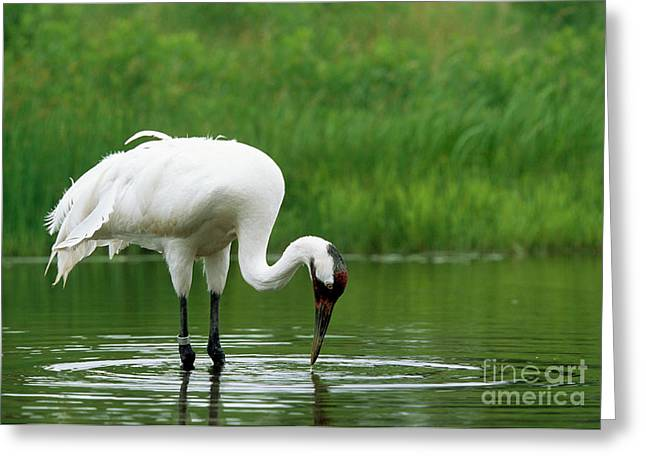 Whoops Greeting Cards - Captive Whooping Crane Feeding Greeting Card by William H. Mullins