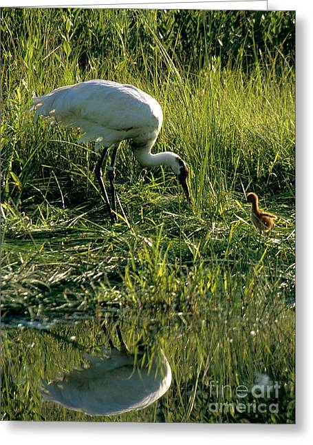Whoops Greeting Cards - Captive Whooping Crane With Chick Greeting Card by William H. Mullins