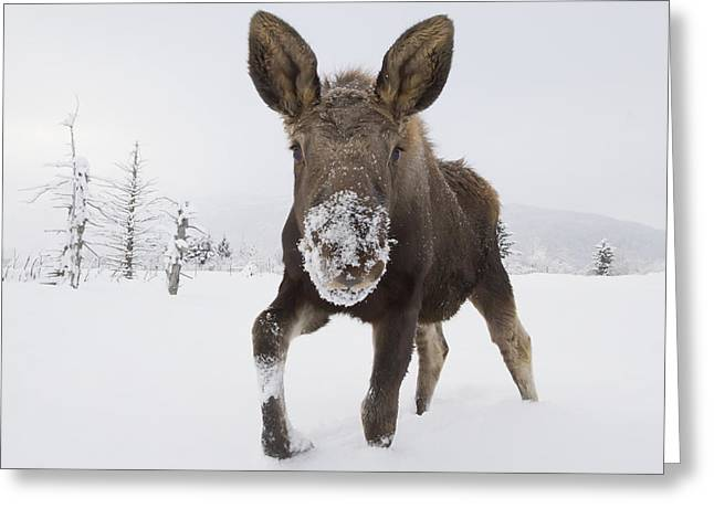 Portage Photographs Greeting Cards - Captive Young Bull Moose In Deep Snow Greeting Card by Doug Lindstrand