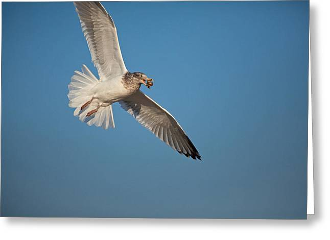 Ring-billed Gull Greeting Cards - Captured Treat Greeting Card by Karol  Livote