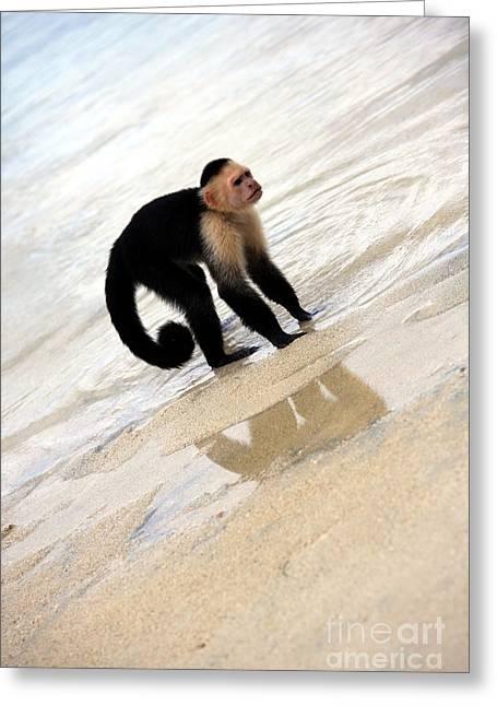 Sophie Vigneault. Greeting Cards - Capuchin Monkey Greeting Card by Sophie Vigneault