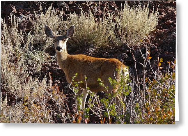 Capulon Doe Greeting Card by Charles Warren