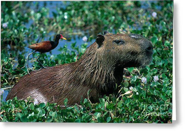 Invasive Species Greeting Cards - Capybara and Jacana Greeting Card by Francois Gohier