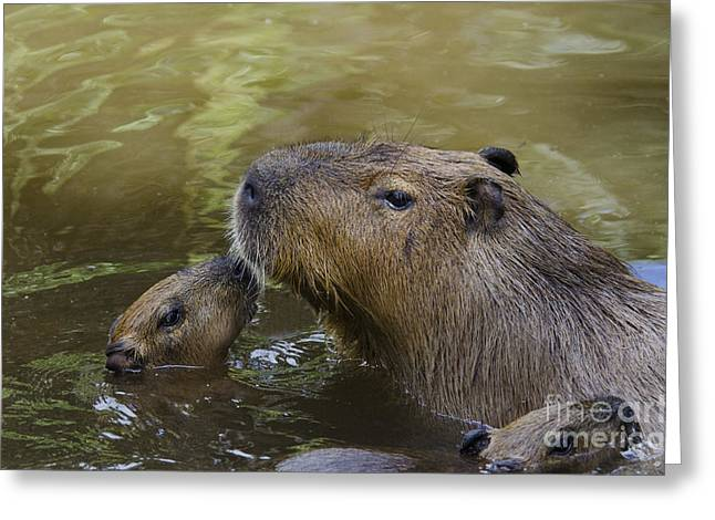 Mother And Young Greeting Cards - Capybara Mother With Babies Greeting Card by Mark Newman