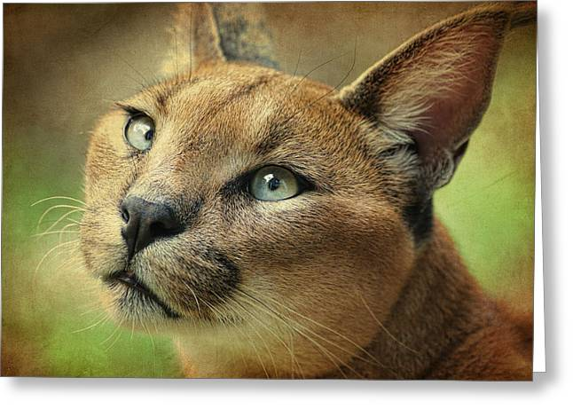 Bobcats Greeting Cards - Caracal Lynx Art Greeting Card by Steve McKinzie