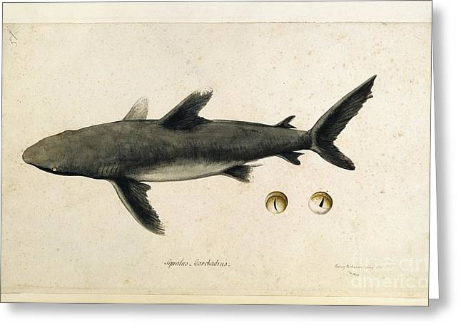 White Shark Greeting Cards - Carcharhinus Shark, 18th Century Greeting Card by Natural History Museum, London