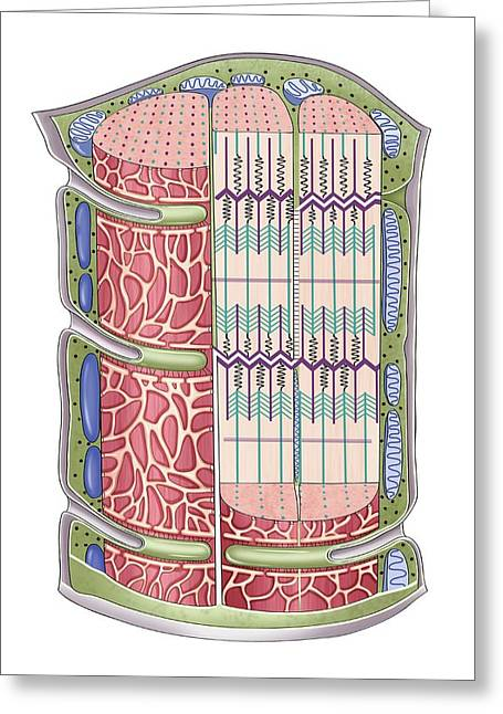 Cardiac Muscle Contractile Appearance Greeting Card by Asklepios Medical Atlas
