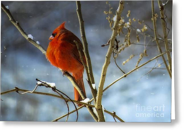 Male Cardinals In Snow Greeting Cards - Cardinal 1 Greeting Card by Brenda Bostic
