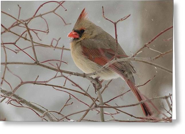 Cardinals. Wildlife. Nature. Photography Greeting Cards - Cardinal #4 Greeting Card by Maria Suhr