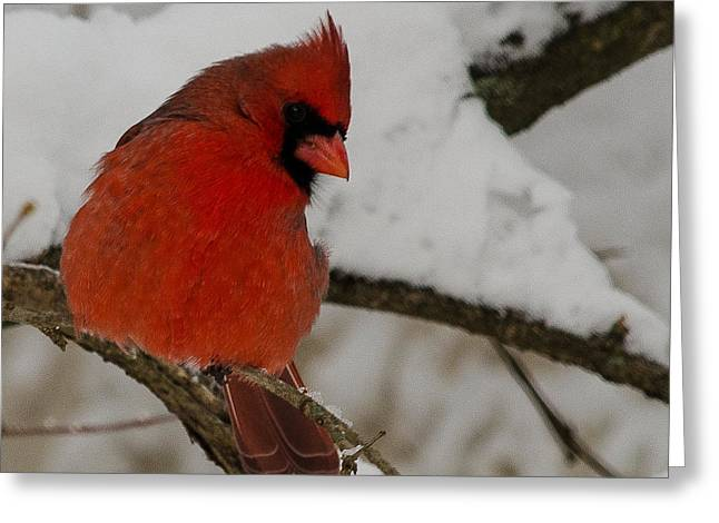 Cardinals. Wildlife. Nature. Photography Greeting Cards - Cardinal #6 Greeting Card by Maria Suhr