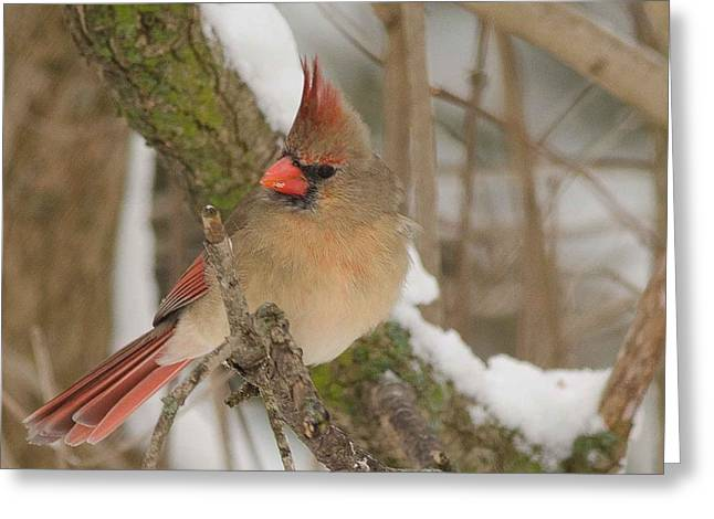 Cardinals. Wildlife. Nature. Photography Greeting Cards - Cardinal #7 Greeting Card by Maria Suhr