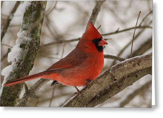Cardinals. Wildlife. Nature. Photography Greeting Cards - Cardinal #8 Greeting Card by Maria Suhr