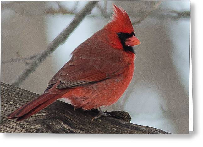 Cardinals. Wildlife. Nature. Photography Greeting Cards - Cardinal #9 Greeting Card by Maria Suhr