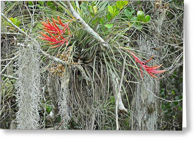 Epiphytic Bromeliads Greeting Cards - Cardinal Air Plant Tillandsia Greeting Card by John Serrao