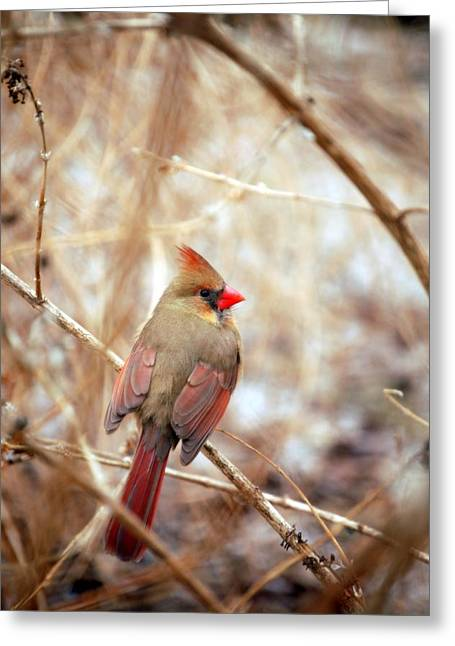 Snow Tree Prints Greeting Cards - Cardinal Birds Female Greeting Card by Peggy  Franz