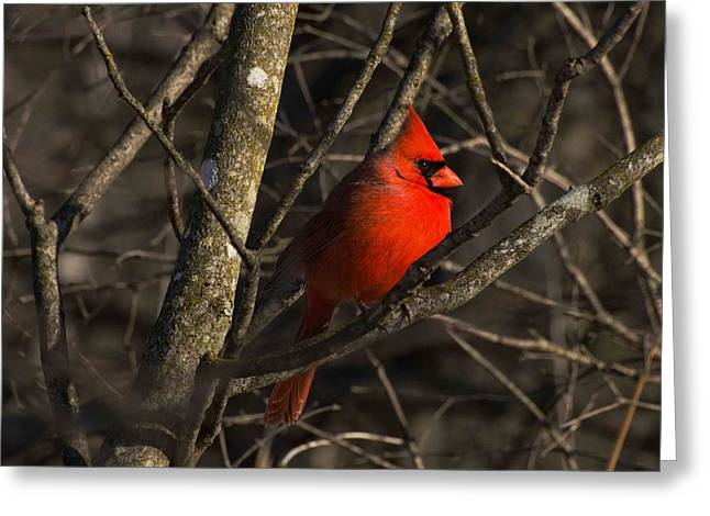 Cardinal Greeting Card by Cheryl Cencich