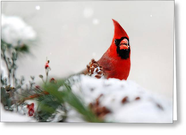 Red Bird In Snow Greeting Cards - Cardinal Greeting Card by Christina Rollo