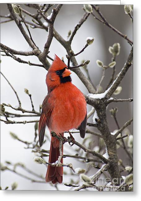 Male Northern Cardinal Greeting Cards - Cardinal - D008410 Greeting Card by Daniel Dempster