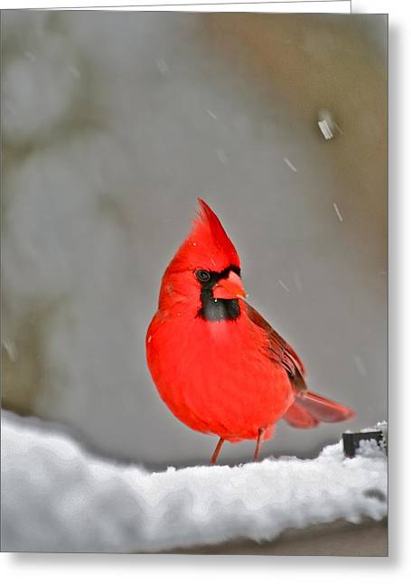 Male Cardinals In Snow Greeting Cards - Cardinal in Snow by Mother Nature Greeting Card by Maggie Vlazny