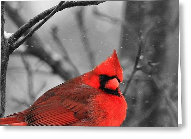 Male Cardinals In Snow Greeting Cards - Cardinal In Snow Greeting Card by Dan Sproul