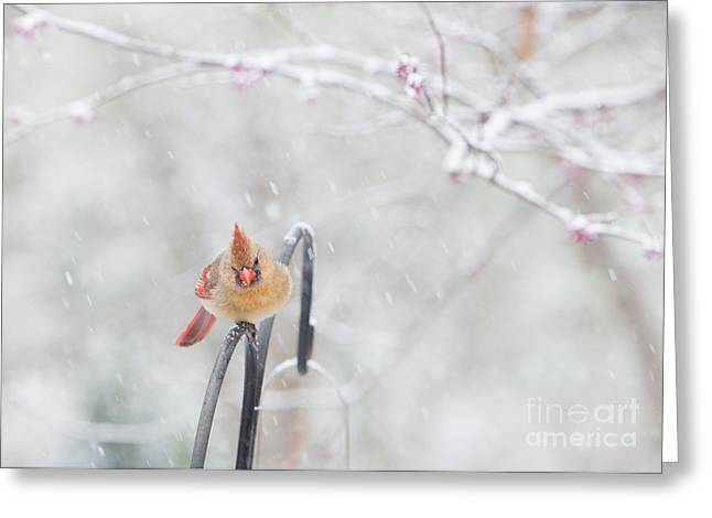 Cardinals In Snow Greeting Cards - Cardinal in Snow Greeting Card by Kay Pickens