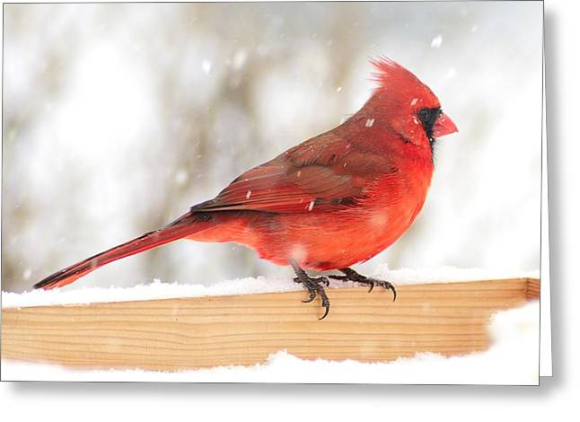 Birdwatching Greeting Cards - Cardinal in snow storm Greeting Card by Jim Hughes