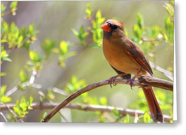 Cardinal In Spring Greeting Card by Sandi OReilly
