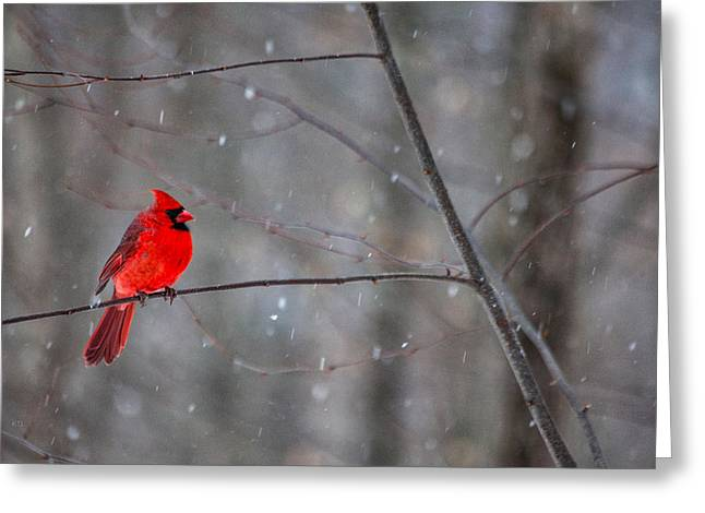 Male Cardinals In Snow Greeting Cards - Cardinal In The Snow Greeting Card by Karol  Livote