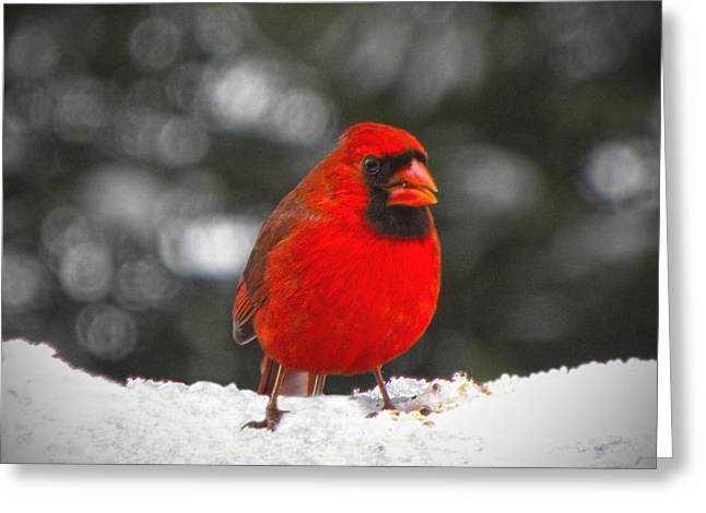 Cardinals. Wildlife. Nature. Photography Greeting Cards - Cardinal In The Snow Greeting Card by Sandi OReilly