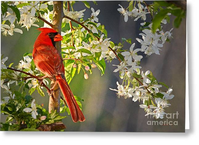 Shower Curtain Greeting Cards - Cardinal in the Springtime Greeting Card by Nava  Thompson