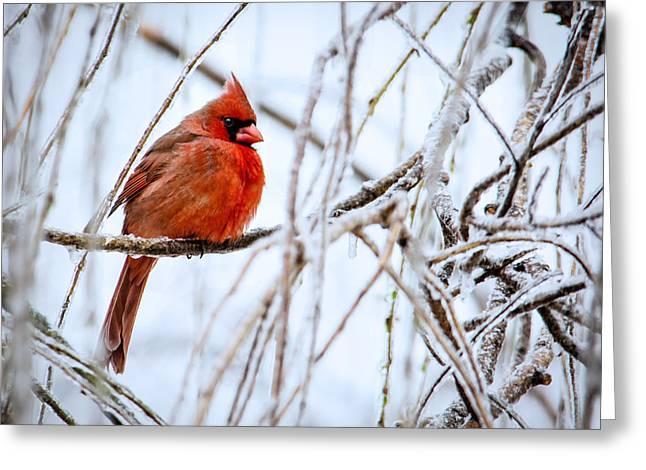 Cardinal In The Willow IIi Greeting Card by Jon Woodhams
