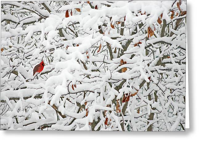 Sturgeon Greeting Cards - Cardinal in White Greeting Card by Ty Helbach