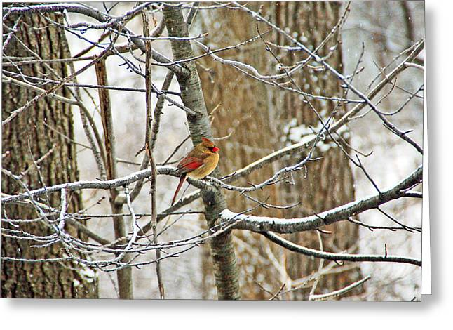 Cardinal In Winter Greeting Card by Aimee L Maher Photography and Art Visit ALMGallerydotcom