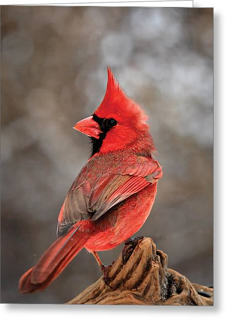 Male Northern Cardinal Greeting Cards - Cardinal On A Log Portrait Greeting Card by Bill  Wakeley