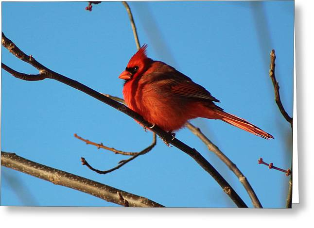 Indiana Images Digital Art Greeting Cards - Cardinal On Bare Branch Greeting Card by Lorna Rogers Photography
