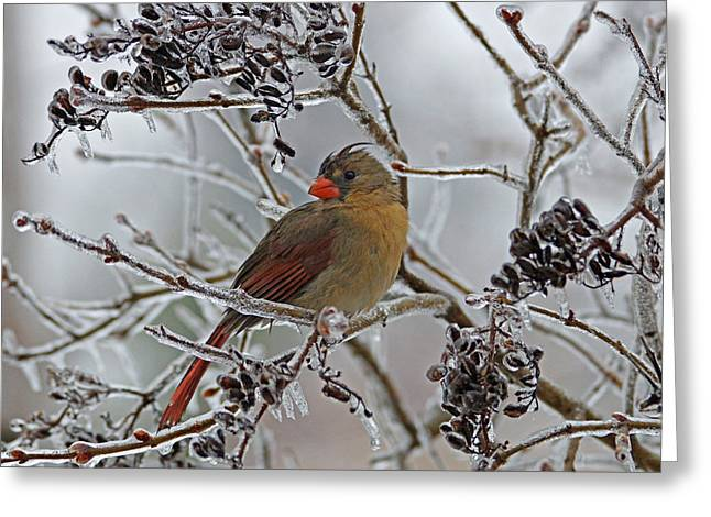 Cardinals In Snow Greeting Cards - Cardinal on Icy Branches Greeting Card by Sandy Keeton