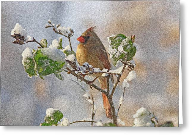 Cardinals In Snow Greeting Cards - Cardinal on Snowy Branch Greeting Card by Sandy Keeton