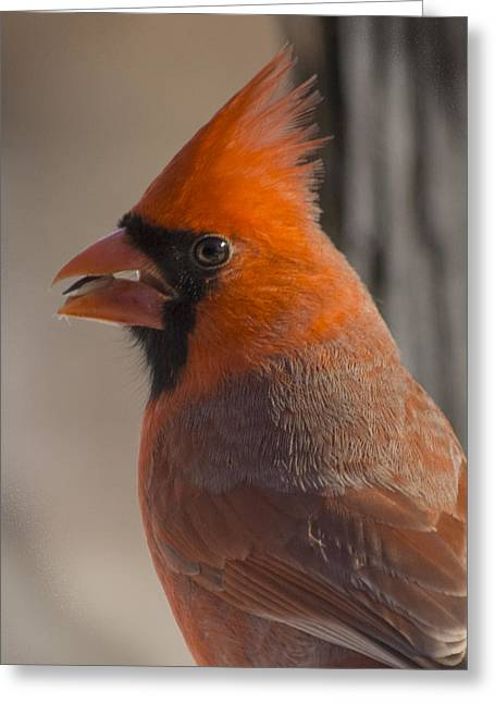 Feeder Framed Prints Greeting Cards - Cardinal Portrait Greeting Card by Michael J Samuels
