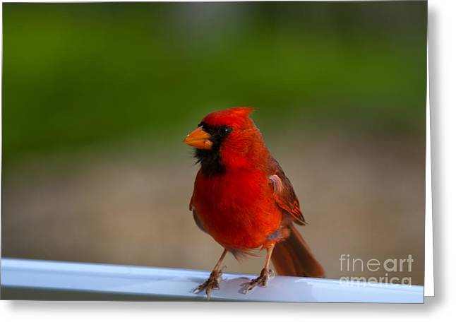 Cardinalis Greeting Cards - Cardinal Red Greeting Card by Mike  Dawson
