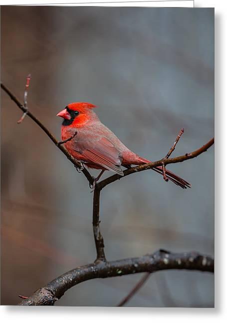 Carolina Greeting Cards - Cardinal Sing Greeting Card by John Haldane