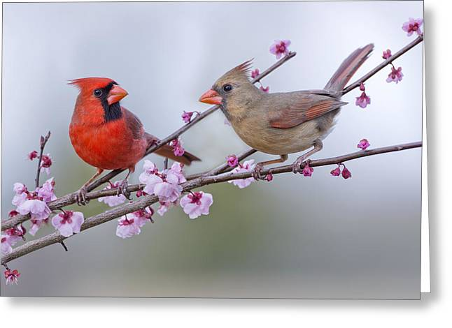Plum Blossoms Greeting Cards - Cardinals in Plum Blossoms Greeting Card by Bonnie Barry