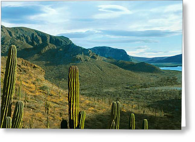 Baja California Sur Greeting Cards - Cardon Cactus Plants At Hillside Greeting Card by Panoramic Images