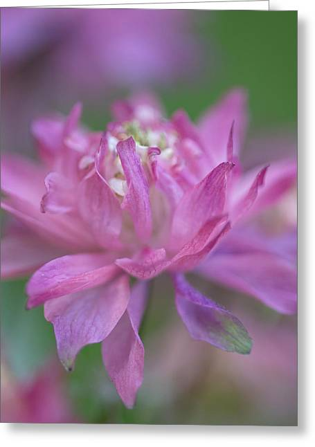 Soft Light Greeting Cards - Carefree Columbine Greeting Card by Angie Vogel