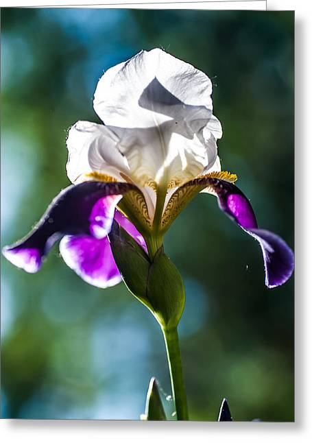Spa Center Greeting Cards - Caressed by Sun. Iris Series Greeting Card by Jenny Rainbow