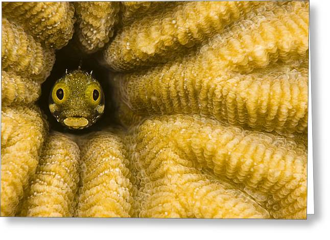 Ocean Art Photos Greeting Cards - Caribbean, Blenny Fish Looking Out From Greeting Card by Dave Fleetham