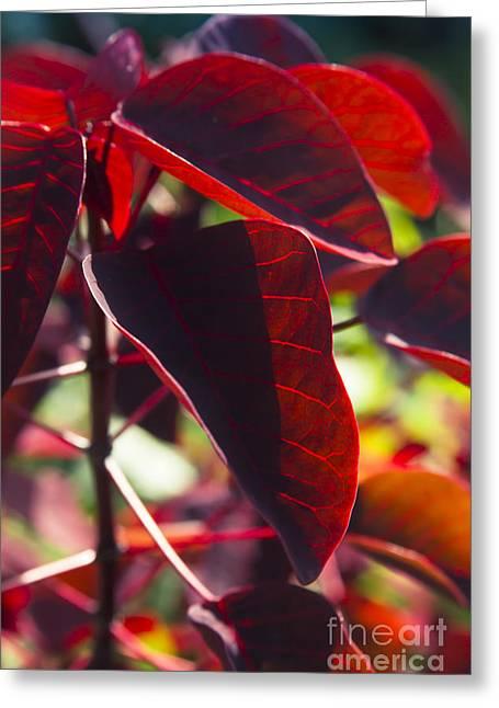Caribbean Copper Plant Greeting Card by Sharon Mau