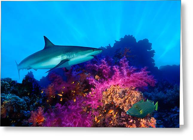 Indo-pacific Ocean Greeting Cards - Caribbean Reef Shark Carcharhinus Greeting Card by Panoramic Images